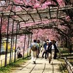 2018京都桜開花情報☆賀茂川沿いの紅しだれ桜トンネル!植物園もスグ☆「半木(なからぎ)の道」