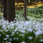 森の白い精霊に逢いに行こう☆【綾部・シャガ群生地】年々スケールアップしています☆
