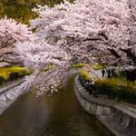 とっておきの京都の桜「山科編 ①」京都駅から電車で約5分で行ける穴場スポット