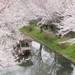 とっておきの京都の桜「伏見編 ①」名所から穴場まで