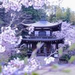 とっておきの京都の桜「山科編 ②」名所から穴場、地元人気のグルメまで