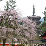 とっておきの京都の桜「伏見編 ②」世界遺産で桜を満喫!花も団子も充実