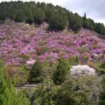 とっておきの京都の桜「高雄編①」鳥獣人物戯画が生まれた三尾の里