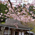 とっておきの京都の桜【大原ver】洛中で見逃した方は、大原の遅咲き桜を