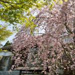 とっておきの京都の桜「大原編 ②」朝からお出かけしてほしい京都の山里