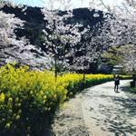 【2019京都桜情報】まさに見ごろ!山科エリアの桜名所の開花をパトロール☆「山科疎水~毘沙門堂」