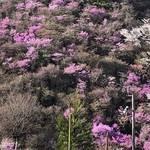 必見☆高雄の山肌を一面に濃いピンクに染め上げるミツバツツジ!!見頃はこれから!