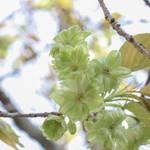 【桜の京都】散り際まで美しい緑色の桜・希少種「御衣黄の名所」