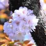 【桜の京都】遅咲き桜の名所~春爛漫の雨宝院~