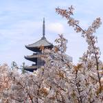 【桜の京都】遅咲き桜の名所~世界遺産 仁和寺の御室桜~