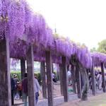 【京都の藤】120mの藤棚の回廊は圧巻♪「鳥羽の藤」鳥羽水環境保全センター一般公開