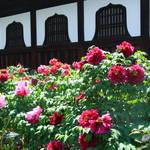 【京都花めぐり】京都最古の禅寺「建仁寺」に咲く牡丹
