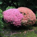 【東福寺】かわいいハート皐月に癒される【フォトジェニック】
