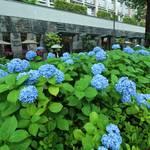 京都のあじさいが見ごろに!街を彩る御池通のあじさい【御池通】