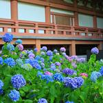 【京都花めぐり】智積院で色とりどりの紫陽花に癒される【東山七条】