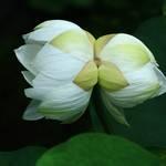 【希少】東福寺塔頭『勝林寺』で珍しい双頭蓮が開花しました♪