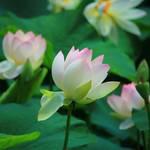 【夏の風物詩】東福寺 三門前の蓮が見頃です♪