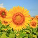 【ひまわり2019】今年はノッポさん♪『向日市ひまわり畑』可愛いひまわりに癒されました。【向日市】