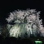 【保存版】京都を代表する名木の数々!有名神社仏閣の御神木からランドマークまで☆【厳選5スポット】
