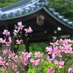 【京都花めぐり】京都西山の古刹、「善峯寺」は京都屈指の秋明菊(シュウメイギク)の名所