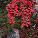 【紅葉の穴場】美しき紅葉の庭園 金戒光明寺 塔頭『栄摂院(えいしょういん)』