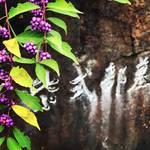 【京都お墓めぐり】紫色の果実『ムラサキシキブ』が見頃!古典文学最高峰・源氏物語作者☆「紫式部墓所」