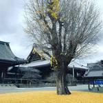 【2019京都紅葉最新】見事な銀杏の黄金じゅうたん出現!境内を望むお寺カフェもあり☆「佛光寺」