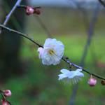 【北野天満宮】早咲きの梅が咲きだしました【京都花めぐり】