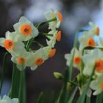 【京都花めぐり】真冬もお花が楽しめます『平野神社』