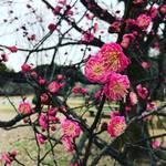 【季節の花めぐり】市民憩いの場『京都御苑』の梅林も開花チラホラ!黄色いロウバイの鮮烈な香り漂う☆