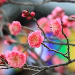 【京都花めぐり】紅梅が咲き始め、春の足音が聞こえてきました。『智積院』【東山七条】
