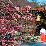 【北野天満宮】梅苑が公開♪早咲きの梅が見頃です【京都花めぐり】