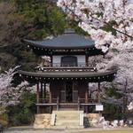 とっておきの京都の桜【山科ver】明智光秀終焉の地・山科で桜を愛でる