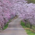 とっておきの京都の桜【京北ver】穴場スポットでゆったりお花見できる京北