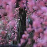 【見頃です】春の訪れを告げる満開のしだれ梅♪『城南宮』【京都花めぐり】