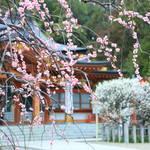 【京都花めぐり】数々の種類の梅が楽しる穴場スポット「長岡天満宮」