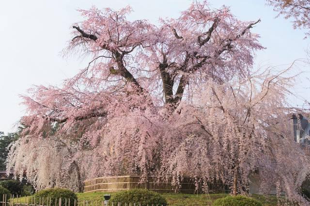 2020年、京都の桜開花予想は3月20日! 絶景桜の名所シリーズ 「祇園・東山・岡崎」