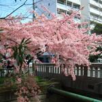 【見頃】伝説の橋を見事に彩る『一条戻橋の桜』【京都花めぐり】