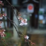 【桜の京都2020】桜の季節到来♪春の使者、魁桜が咲きはじめました!『平野神社』