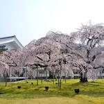 【桜速報】京都の桜の名所、開花予想まとめ!今年は撮影のチャンス【2020年】