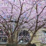 【桜の京都2020】春めき桜が見頃です♪旧京都市立成徳中学校【京都花めぐり】