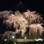速報!円山公園や二条城の桜ライトアップ中止せず実施へ【新型コロナ】