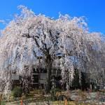 【桜の京都2020】本満寺・上品蓮台寺の見事なしだれ桜【京都花めぐり】