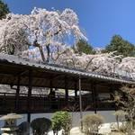 【京都の名桜】歌人 在原業平ゆかりの西京区「十輪寺」のなりひら桜