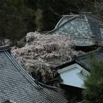 【桜の京都】名木なりひら桜が見事に咲き誇る「十輪寺」【京都花めぐり】