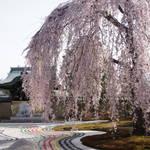 ねねの愛があふれる「高台寺」白砂と桜の共演はライトアップも必見!
