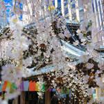 【桜の京都】美しい枝垂れ桜に癒される「六角堂」【京都花めぐり】