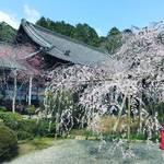【2020京都桜情報】今週末狙い目!JR東海『そうだ京都、行こう。』でも有名に☆「毘沙門堂」