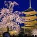 不二桜が咲き誇る「東寺夜桜ライトアップ」が会期短縮になりました【京都花めぐり】