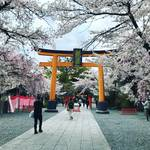 【2020京都桜情報】『桜の神社』として名高い屈指の名所!茶店・露店は中止「平野神社」
